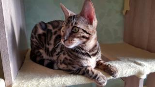 Бенгальские коты с клубными документами Одесса