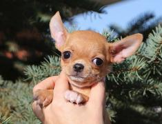 Chihuahua puppies from Irlayn dog