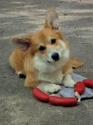 Дрессировка собак, Школа щенка. Кинолог г. Днепр
