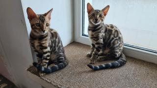 Продам котят бенгальской породы с доставкой